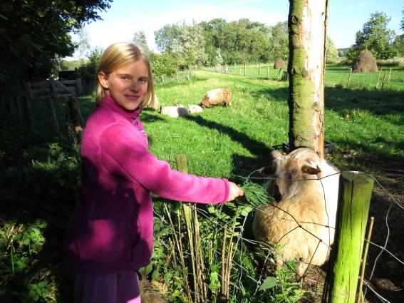Feeding the sheep in our yard