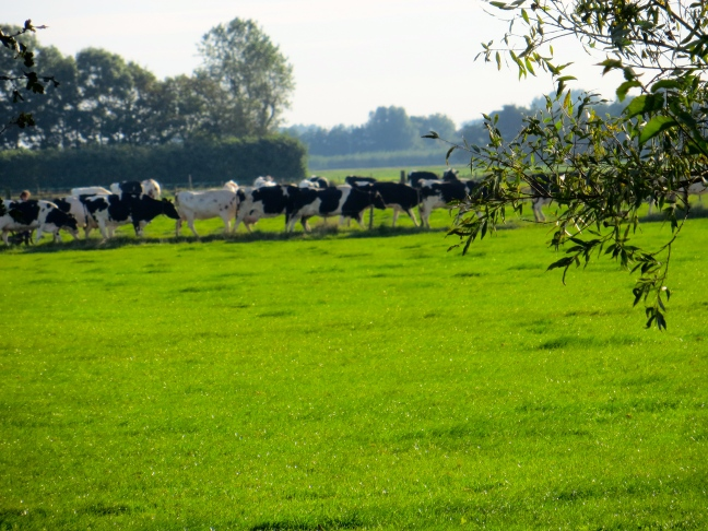 Cows coming home to milk, in our backyard