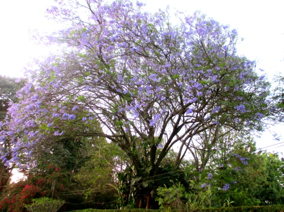 Jacarinda tree