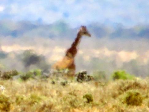 A giraffe through the hazy heat of Kenya