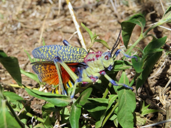 Colorful Kenyan insect