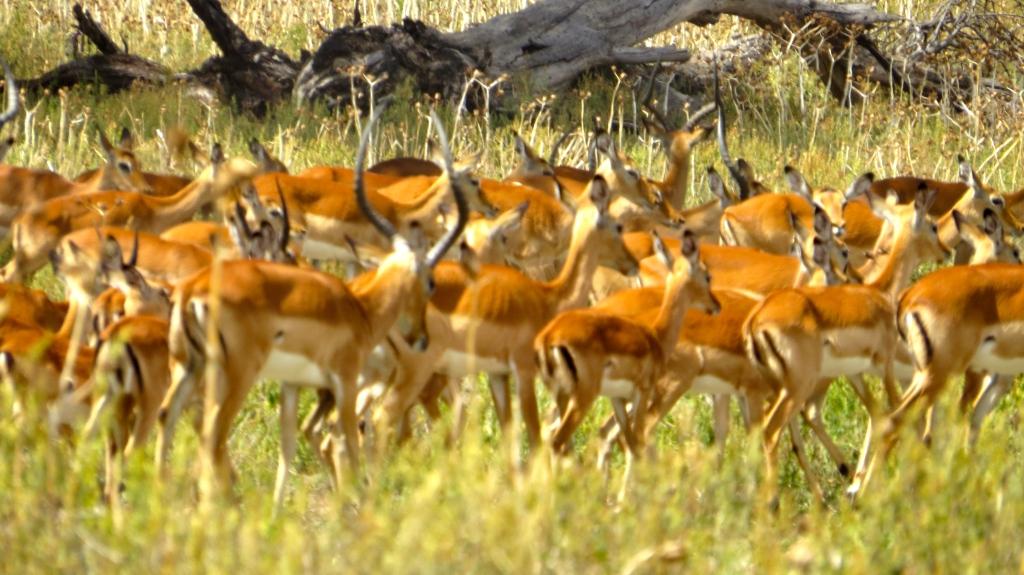 So many Thompson's Gazelle!
