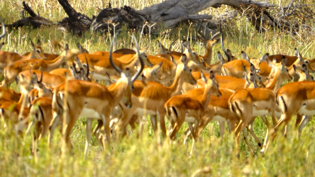 So many Thompson's Gazelle!