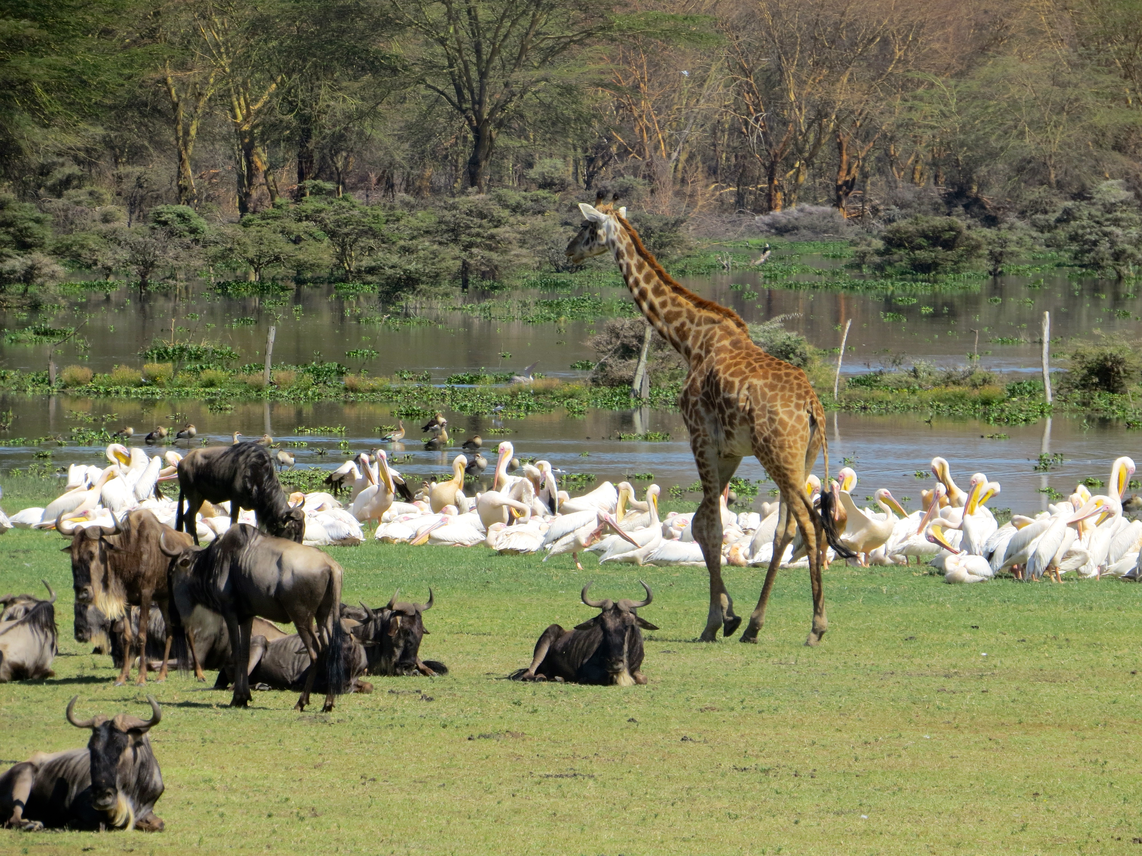 Naivasha Kenya  city photos : Sanctuary Farm, Lake Naivasha, Kenya – Demers Gone Global
