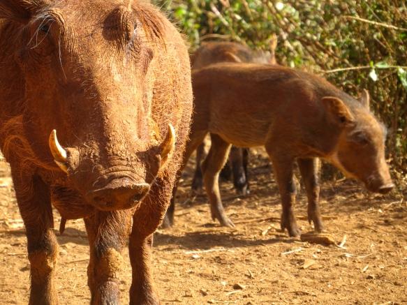 Warthogs roaming wild at the elephant orphanage