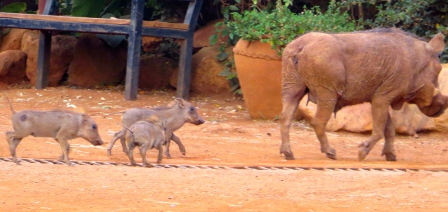 Also saw some teeny tiny baby warthogs playing near the giraffes!