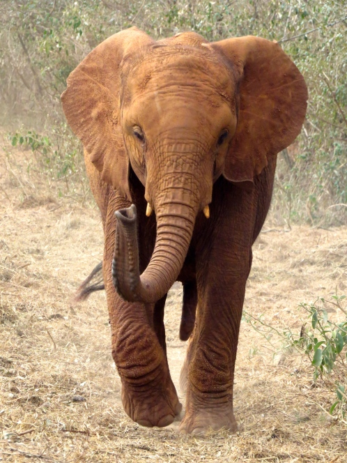 Elephant coming in fast, on the way to a warm bottle and bed of hay