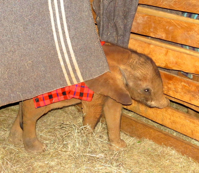 Kamok playfully explores her neighbor's pen with her little trunk