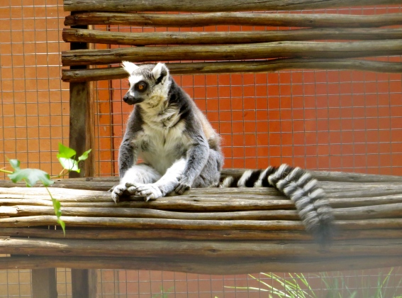 Just hangin' on my bench... (a lemur)