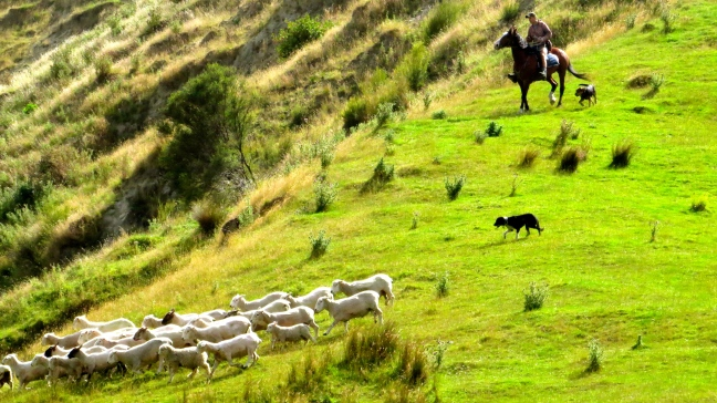 A working dog herds the sheep toward the wool shed