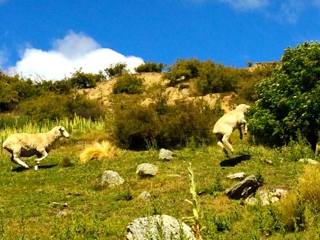 Hopping sheep!