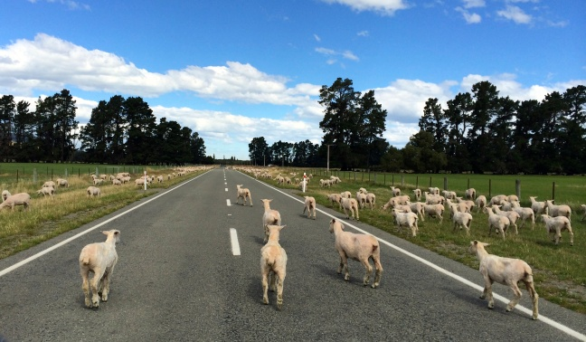Sheep moving to a new pasture, via Highway 1