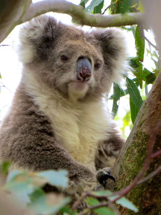 Real live Koala - even cuter in person than you can imagine!
