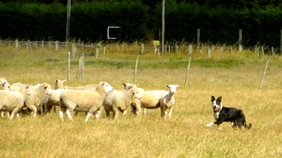 Jessie herding the sheep!