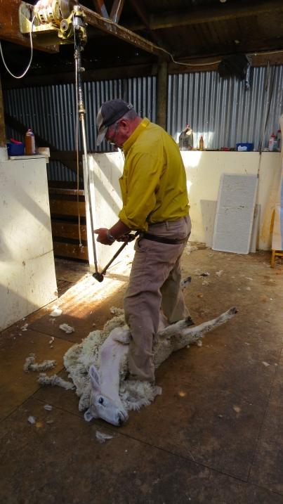Pete shearing